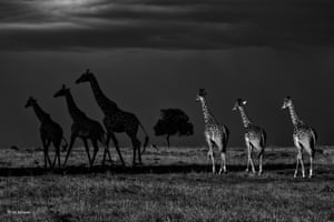 Dark side of the plains by Uri Golman, Denmark'Uri had dedicated a whole week to black-and-white photography on the plains of the Maasai Mara, Kenya, and had spent many days taking pictures of big cats. After a long day he suddenly came across six giraffes walking in formation. He decided to follow them for a while, and when three broke off and headed into the shadows he got this remarkable shot.'