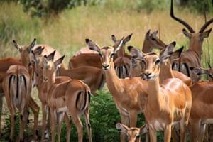 A herd of impala are seen in Akagera National Park, eastern Rwanda