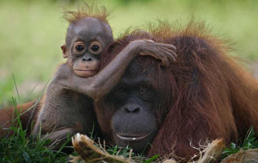 A baby orangutan clings onto its mother at a release site in Tanjung Hanau, Central Kalimantan, Indonesia