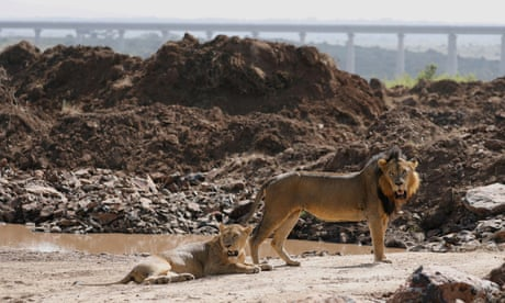 A lion and a lioness in Nairobi national park, Kenya
