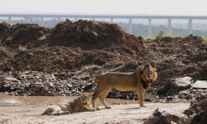 A lion and a lioness inside Nairobi national park.