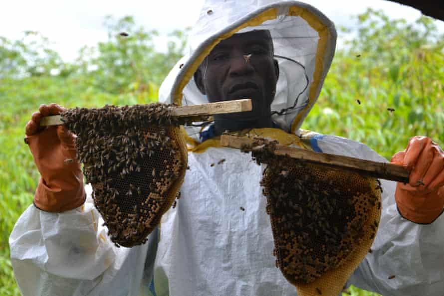 African honey bee, Apis mellifera scutellata, in Liberia
