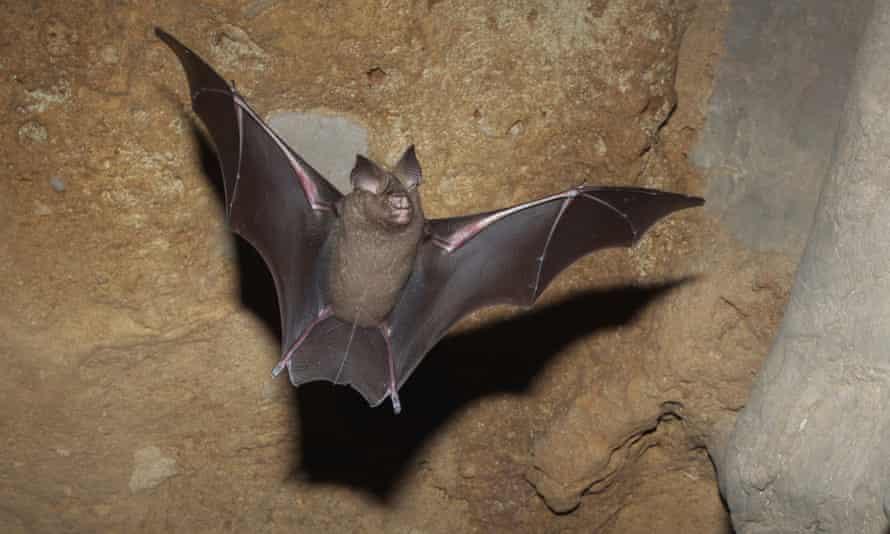 The great round-leaf bat