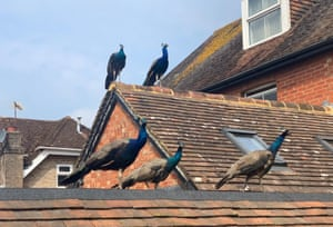 """Henfield, England Roaming village peacocks settle on a roof in West Sussex. Local residents had received a letter from Sussex police saying that efforts were being made to trap and rehome the peacocks. But the letter added that if that could not be completed then """"humane dispatch"""" would be required"""