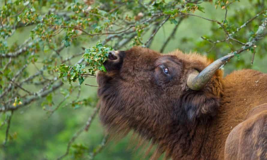 The European bison in Palencia, Spain.