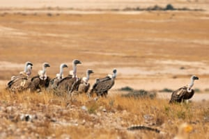 Griffon vultures stand together in a feeding area, where carrion is left by conservationists as part of a project to increase the population of the protected bird in Israel