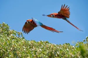 A photo made available by the Rewilding Argentina Foundation shows wild red macaws named Nioky and Sopa on a tree in Iberá national park, Corrientes province