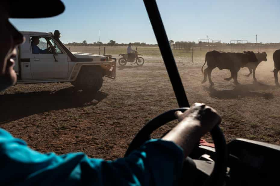 Ann Rayment chasing cattle in a buggy