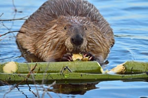 A front face view of an adult beaver Castor canadenis chewing on a piece of tree that he has just bitten off from the green aspen branch