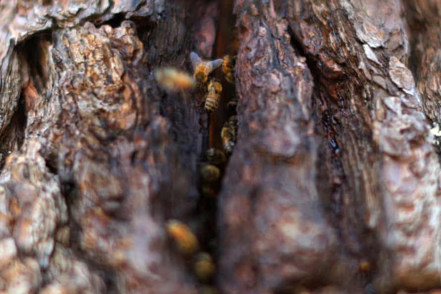 Bees enter a nest habitat in Sebastopol, California.