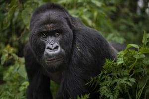 A silverback mountain gorilla named Segasira