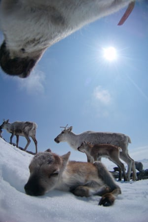 Another view from a reindeer camera