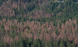 Rust belt: pine trees in the Helena National Forest devastated by bark beetles, once killed by cold winters