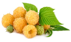 'Spectacular fragrance': yellow 'All Gold' raspberries.
