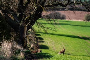 A hare on farmland