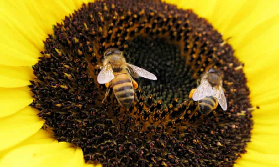 Bees land on a sunflower to gather pollen in Encinitas in this file photo<br>Bees land on a sunflower to gather pollen in Encinitas, California in this file photo from June 23, 2009. Wild bees, crucial pollinators for many crops, are on the decline in key U.S. agricultural regions, according to scientists who produced the first national map of populations of these insects and identified numerous trouble spots. REUTERS/Mike Blake/Files