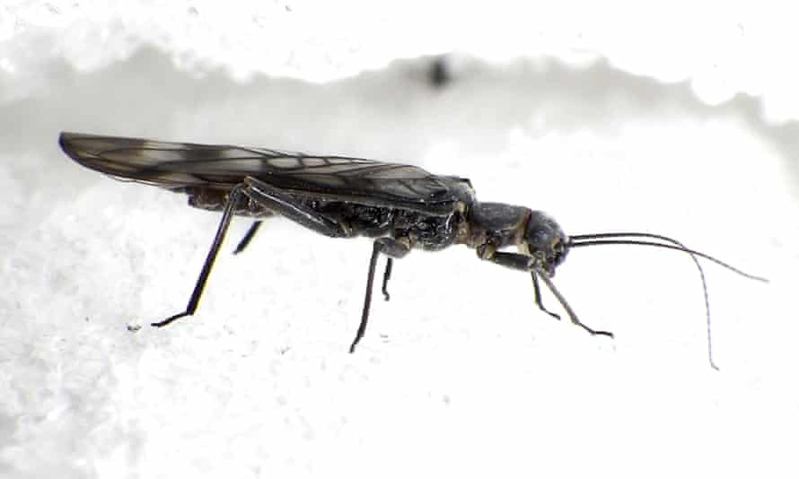 An adult female western glacier stonefly from the Grinnell glacier in Glacier national park, Montana, US