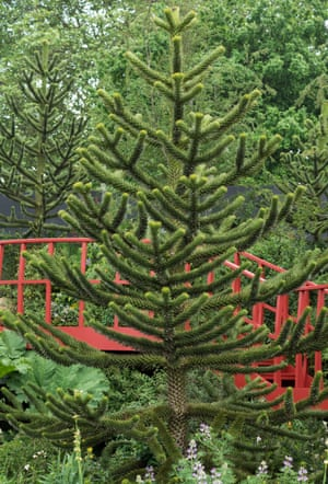 The monkey puzzle (Araucaria araucana), on show in Jonathan Snow's Undiscovered Latin America garden.