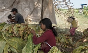 A family, including a young girl who was playing and helps her mother with string, in the Santiago tobacco fields.
