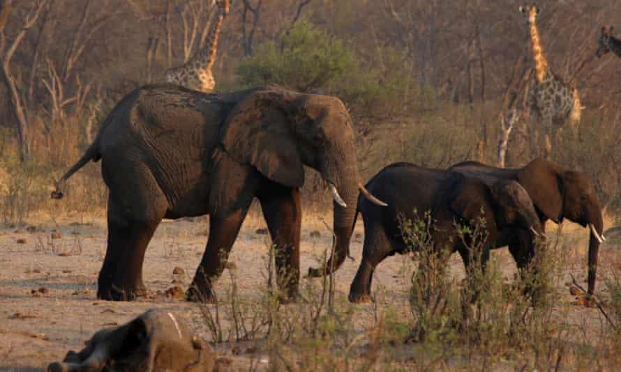 Elephants and giraffes walk near a carcass of an elephant in Hwange national park in Zimbabwe.