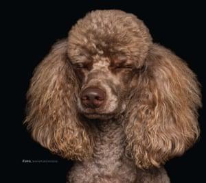 Kono, a miniature poodle