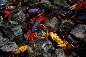 Crabs arrive from the surrounding forests to spawn on Playa Giron on the eastern side of the Bay of Pigs in Cuba