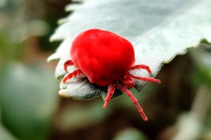 A red velvet mite walks on a plant leaf on the outskirts of Pushkar, India