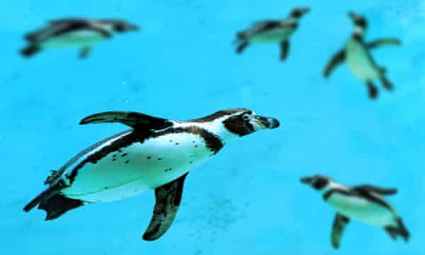 A Humboldt penguin (Spheniscus humboldti) swimming under blue water.