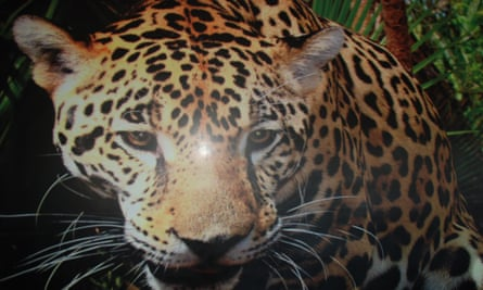 Photo of a photo of a jaguar in Peru's Amazon, one of many species living in the Sierra del Divisor National Park.