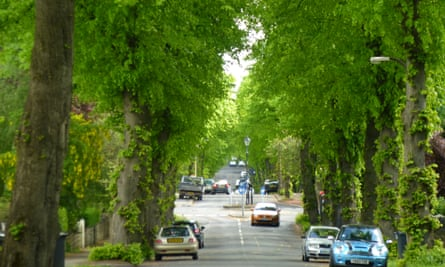 An avenue of limes that is under threat.