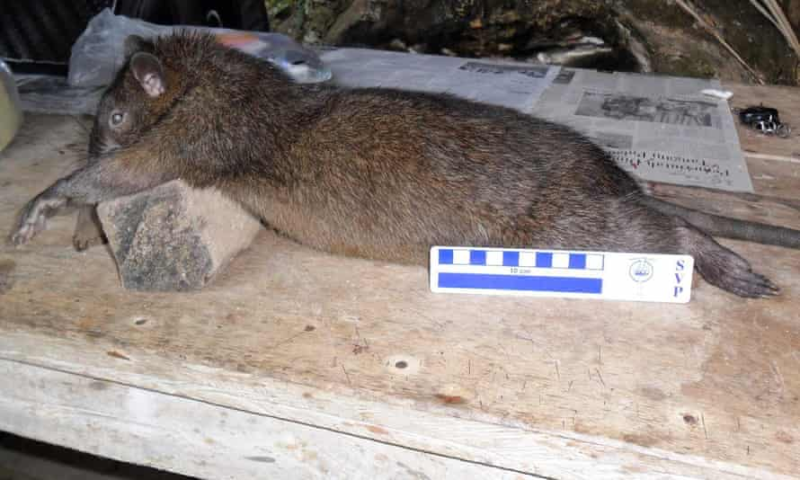 A living species of giant rat caught by local villagers on the eastern Indonesian island Flores.
