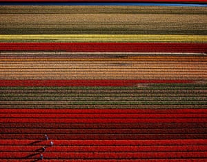 Tulip farms, Den Helder
