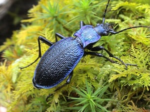 A blue ground beetle.