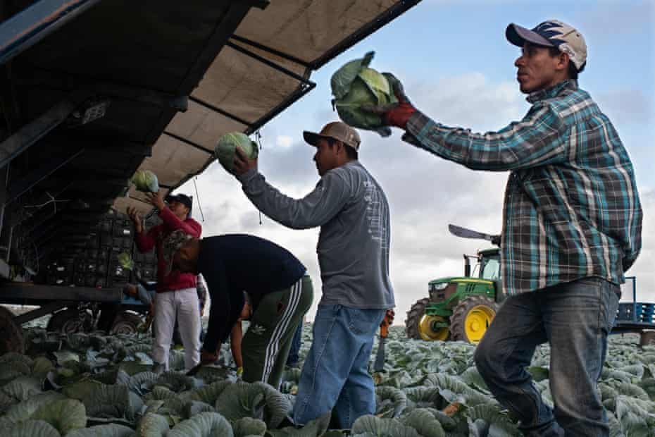 Central American and Mexican migrants work harvesting cabbage in the Rio Grande Valley.