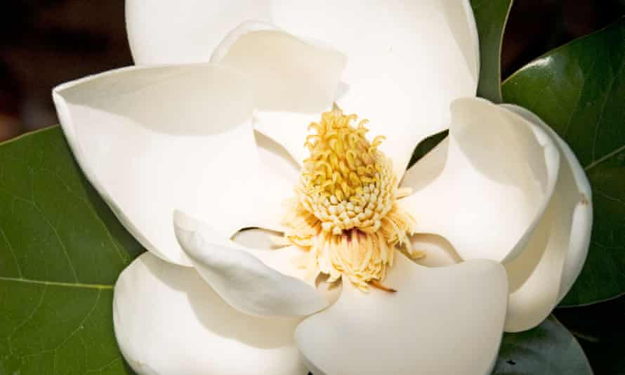 'Patience is required with Magnolia grandiflora.'