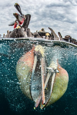 "Behaviour category – commended. The Contenders by Simone Caprodossi (UAE). Location: Bahia Magdalena, MexicoAnother surprise subject for this photographer who went to Bahia Magdalena to photograph blue and mako sharks. ""We stopped by a small beach where fisherman land their catch."" The snappers hung off the side to shoot the pelicans diving for bait and photographic pickings were so rich they abandoned the shark shoot."