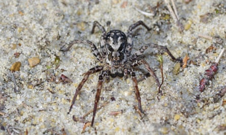 A female great fox-spider