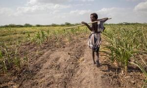 A boy walks among failed crops on farmland in the Magenta area of Afar