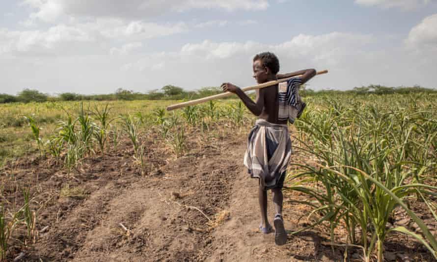 A boy walks through a field of crops