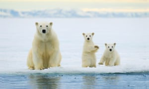 Polar bear mother (Ursus maritimus) and twin cubs of the year hunting on the pack ice, Svalbard Archipelago, Arctic Norway