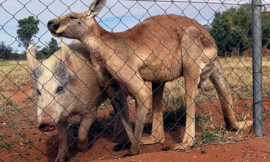 Pig kangaroo