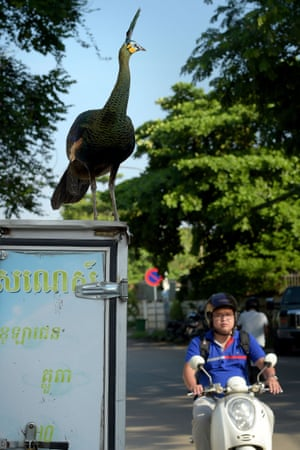 A peacock on a parked delivery van in the street of Phnom Penh, Cambodia