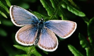 The silver-studded blue butterfly.