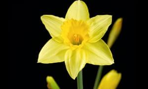 Yellow daffodil head