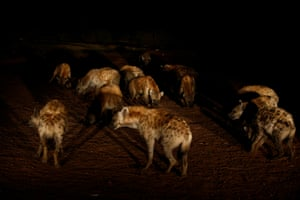 Hyenas wait for Abbas Yusuf, 23, known as Hyena Man, on the outskirts of the walled city of Harar, Ethiopia
