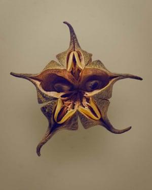 Bofiyu (Esenbeckia cornuta)