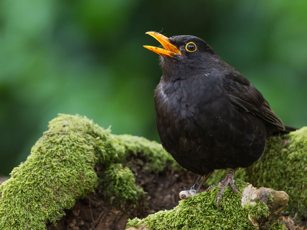 The blackbird hour, when the hedgerows thrill with song | Birds | The  Guardian