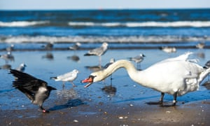 A swan on the beach fighting with crows.