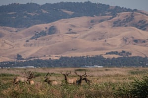 A herd of tule elk (Cervus canadensis nannodes) at Grizzly Island Wildlife Area, California.