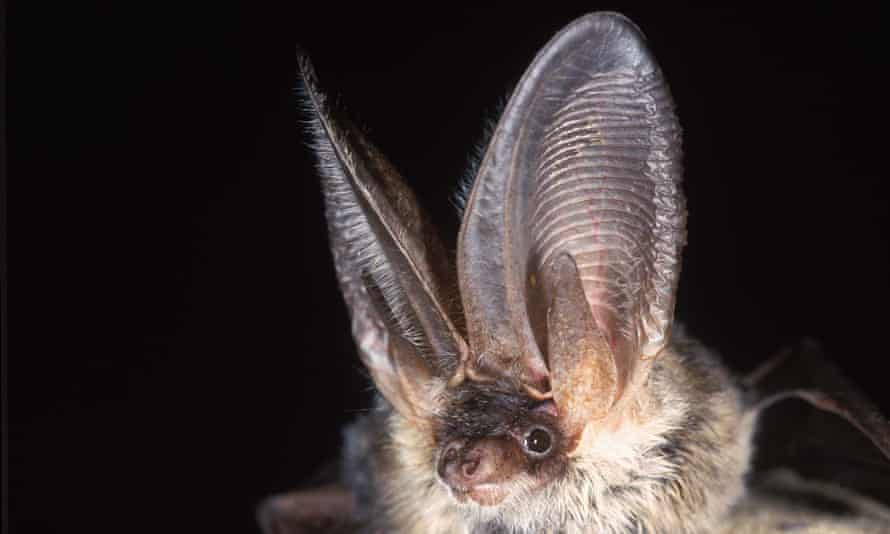A photo of a grey long-eared bat, released by the Heritage Lottery Fund as part of a campaign to save some of the UK's rarest species.